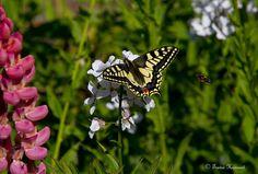 SWALLOWTAIL & HONEY BEE | Flickr - Photo Sharing!
