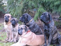 The four breeds most commonly called Mastiffs are the English Mastiff, the Neapolitan Mastiff, the Bull Mastiff and the Tibetan Mastiff. Brindle Mastiff, Mastiff Breeds, Mastiff Dogs, Bullmastiff, Tibetan Mastiff, Giant Dog Breeds, Giant Dogs, Big Dogs, I Love Dogs
