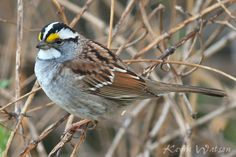 Photo Gallery :: Birds of the Northeast US :: 32