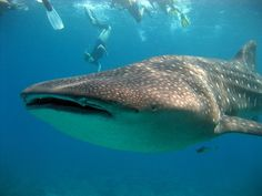 """Whale Shark (Rhincodon typus) - Vulnerable   In 1998, the Philippines banned all fishing, selling, importing and exporting of whale sharks for commercial purposes, followed by India in May 2001, and Taiwan in May 2007. They are currently listed as a vulnerable species; however, they continue to be hunted in parts of Asia, such as Taiwan and the Philippines."""""""