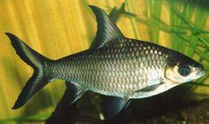 Silver Shark (Balantiocheilos melanopterus) 5cm Live Tropical Fish