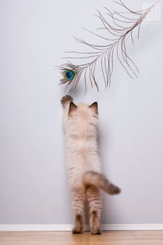 cat and peacock feather