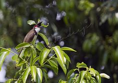 red whiskered bulbul hillyside estate Coorg - Photography by Shikha Deep in Birds at touchtalent 68812