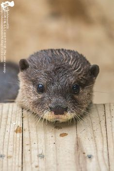 Yes little otter that wooden platform makes a good chin rest - December 26 2014 Cute Baby Animals, Animals And Pets, Funny Animals, Wild Animals, Beautiful Creatures, Animals Beautiful, Otter Love, Baby Otters, Baby Sloth