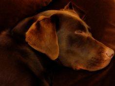 Chocolate Labrador Sleeping