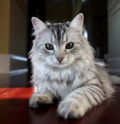 Siberian cat-want one!  Fun fact: 75% of people with pet allergies won't react to a Siberian cat, just thought you should know :)