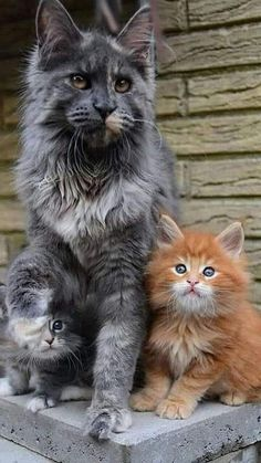 Cute Baby Cats, Cute Cats And Kittens, Cute Baby Animals, Cool Cats, Kittens Cutest, Animals And Pets, Pretty Cats, Beautiful Cats, Animals Beautiful