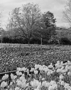 My Canberra - on film mainly around Lake Burley Griffin, back in 2014 . Foriade in it's full bloom . Olympus Pen FT, Kodak T-Max 100 www. T Max, Urban Landscape, Olympus, Landscape Photography, Bloom, Australia, Film, Outdoor, Movie
