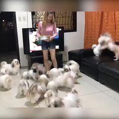 Cute Small Dogs, Super Cute Puppies, Cute Little Dogs, Cute Baby Dogs, Cute Dogs And Puppies, Cute Little Animals, Cute Funny Animals, Doggies, Perro Shih Tzu