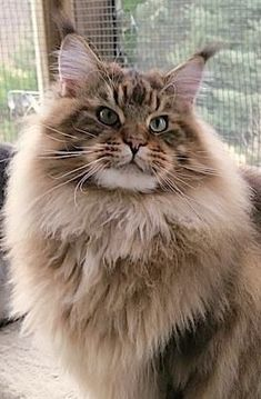 ♥ Maine Coon http://www.mainecoonguide.com/characteristics/