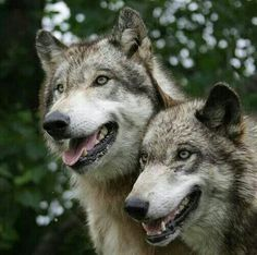 Wolf Park, Indiana - Wolves (Tristopher and Ayla) Beautiful Wolves, Beautiful Dogs, Animals Beautiful, Cute Animals, Cane Corso, Sphynx, Wild Life, Otter, Chinchilla