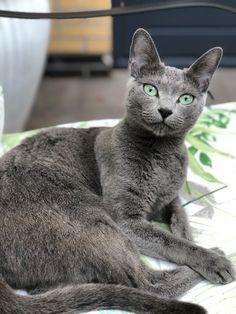 Korat Cat, Russian Blue Kitten, Cute Animal Photos, Tier Fotos, Grey Cats, Cute Cats And Kittens, Domestic Cat, Beautiful Cats, Cat Breeds