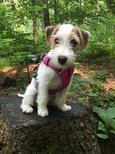 Most recent Totally Free dogs and puppies jack russell Ideas Conduct you love your pet? Not surprisingly, you do. Suitable pet treatment along with exercising will both y Fox Terriers, Wire Fox Terrier, Terrier Dogs, Pitbull Terrier, Cute Puppies, Cute Dogs, Dogs And Puppies, Doggies, Maltese Puppies