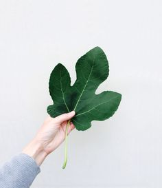 Leaf of a fig tree. Photograpy Marieke Verdenius