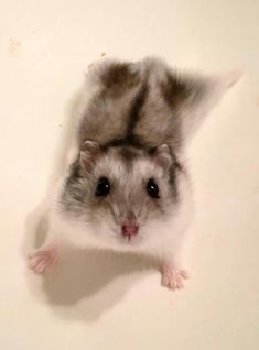 Hamsters use their large cheek pouches to store food that the hamster finds so that the hamster can take the food back to the stash in the underground burrow. Funny Animal Jokes, Cute Funny Animals, Cute Dogs, Cute Babies, Robo Dwarf Hamsters, Funny Hamsters, Hamster Pics, Hamster Care, Baby Animals Super Cute