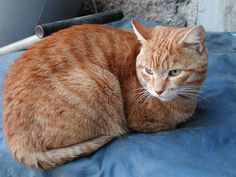 Can Calico Cats Be Male | All about cats: Are all orange cats male?