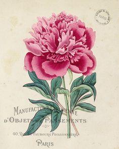 Vintage French Peony No.1 Botanical Print