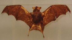 Já são 40 ataques de morcegos a pessoas no Brasil, com uma morte registrada