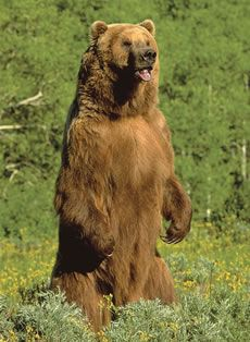 Posing grizzly bear