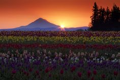 Must find this field!    Sunrise at the Tulip Field - Wooden Shoe Tulip Festival - Woodburn Oregon. Photo by Larry Brown