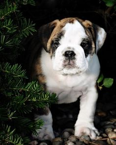 Bulldog..for d one day