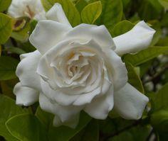 "Photography by Robert Neff ""Gardenia"" - Photos 2.0 - Creative Thinkers International"