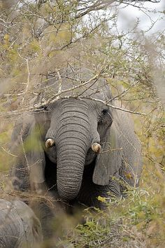 African #elephant | Flickr - Photo Sharing