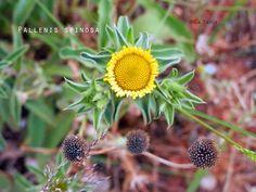 Pallenis Spinosa. El Blog de La Tabla: plantas silvestres