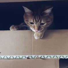 #押入れ猫#ねこのいる暮らし #猫との暮らし #ちゃとら #cat #cats