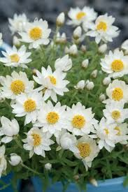 Image result for rhodanthe paper daisy