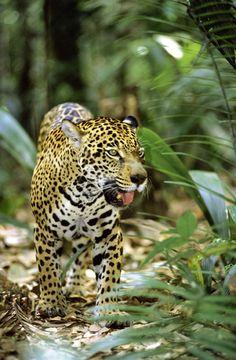 The elusive jaguar in the Amazon rainforest