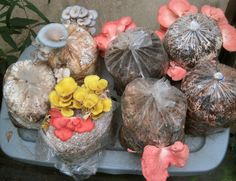 Grow pounds of oyster mushrooms right in your home with fairly little effort and just a small amount of space. All you need is 16 square feet, a few plastic buckets, an organic material to the grow the mushrooms on, like spent coffee grounds, and some spawn. Use recycled or salvaged items and this hobby …
