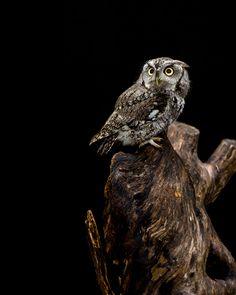 Mountsberg - Echo - Eastern Screech Owl (by Infinite Blue).