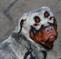 cachorro pelagem extraordinaria 8