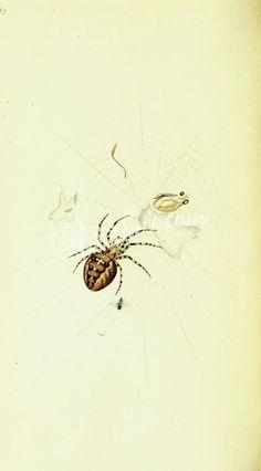 005-Spiders, heliophanus      ...