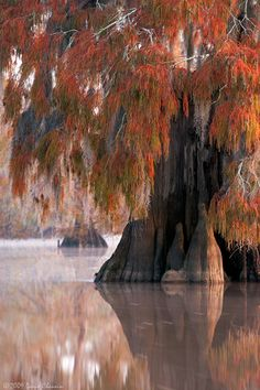 Autumn, Cypress Trees in Louisiana