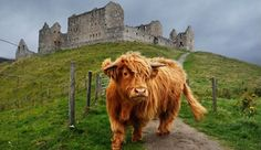 This cow looks like the most expensive dog in the world. Scottish Highland Cow, Highland Cattle, Scottish Highlands, Farm Animals, Cute Animals, Most Expensive Dog, Fluffy Cows, Scottish Castles, England And Scotland