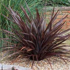Phormium 'Bronze Baby' - evergreen plant which rarely flowers, grows to about 80cm - possible alternative to Purple fountain grass