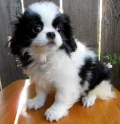 Furry+white+black+Japanese+Chin+dog+picture.PNG (514×534) #lowmaintenancedogbreeds
