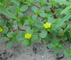 160 best lawn weeds images on pinterest weeds in lawn grasses and purslane lawn weeds with small yellow flowers drblade weeds lawnweeds portulaca oleracea mightylinksfo