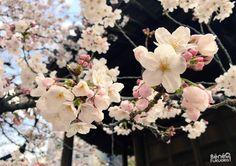 "Cerisier du Japon ""sakura"" au temple Tôchô-ji, Fukuoka"