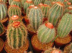 melocactus. Orchid Cactus