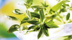 Lípia - alojzia citronova je vhodná aj pre diabetikov