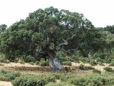 Quercus rotundifolia, encina = Chamartin de la Sierra = Avila = Spain