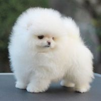 Micro teacup pomeranian puppies for sale philippines