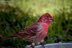 A Purple Finch at a ground feeder, looking vibrantly colorful. Photo by Janet Lyle. birdsandblooms.com