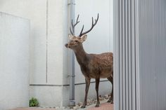 Beyond the border by Yoko Ishii   Oh Deer, where have all the people gone? Yoko Ishii's photographs of Sika deers roaming freely in lifeless midtown Nara in Japan are beautiful, yet hauntingly apocalyptic.