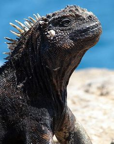 The marine iguana is unlike any other reptile in the world, but also never evolved to defend against predators like humans, dogs, and cats. Description from factzoo.com. I searched for this on bing.com/images