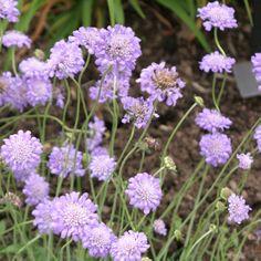 "Butterfly Blue Pincushion Flower (Scabiosa columbaria  'Butterfly Blue')  Zones 3-10. Lavender-blue flowers, long blooming season. 12"" tall."