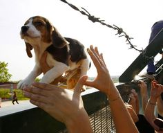 Beagle puppy being liberated from an animal testing facility in Italy.